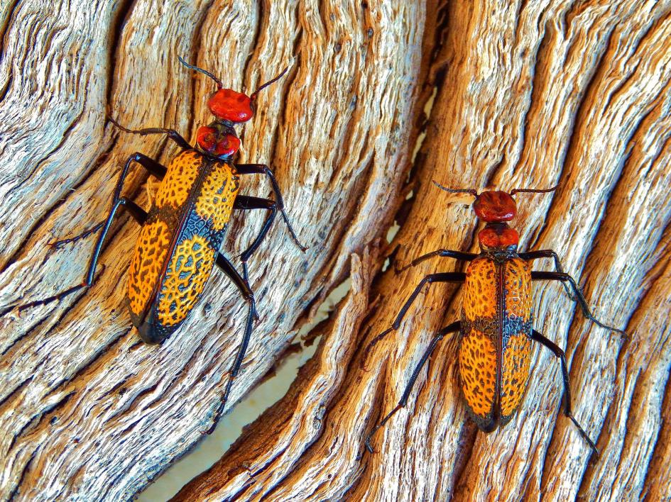 Buggin' OutBrent Wauer won the wildlife category for his close-up of these Iron Cross blister beetles on a tree in Saguaro National Park, Arizona. PHOTOGRAPH BY BRENT WAUER