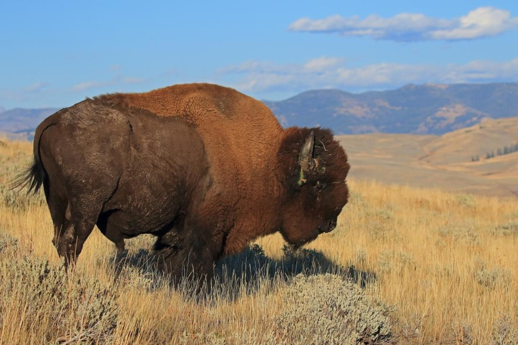 King of the HillMatthew Sorum won in the fan favorite category for this classic-looking photo of a bison in Yellowstone National Park. PHOTOGRAPH BY MATTHEW SORUM