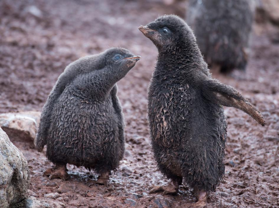 Penguin chicks are susceptible to hypothermia if they get too wet, since their feathers are not fully waterproof. PHOTOGRAPH BY MICHAEL MELFORD, NATIONAL GEOGRAPHIC CREATIVE