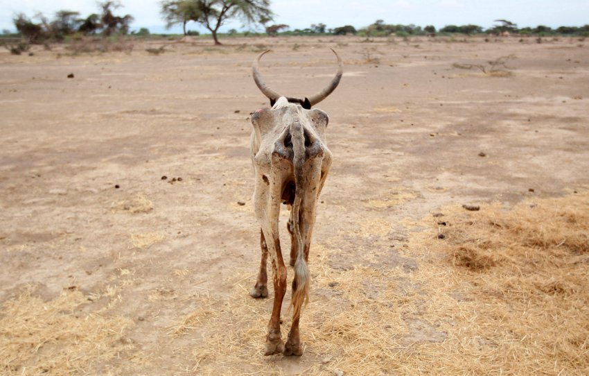 An emaciated cow walks in an open field in Gelcha village, one of the drought stricken areas of Oromia region, in Ethiopia, April 28, 2016. REUTERS.  In the deserts and semi-deserts of Afar, some 440,000 goats and sheep, 105,000 cattle, 15,000 camels and 4,500 donkeys have perished in the drought so far.